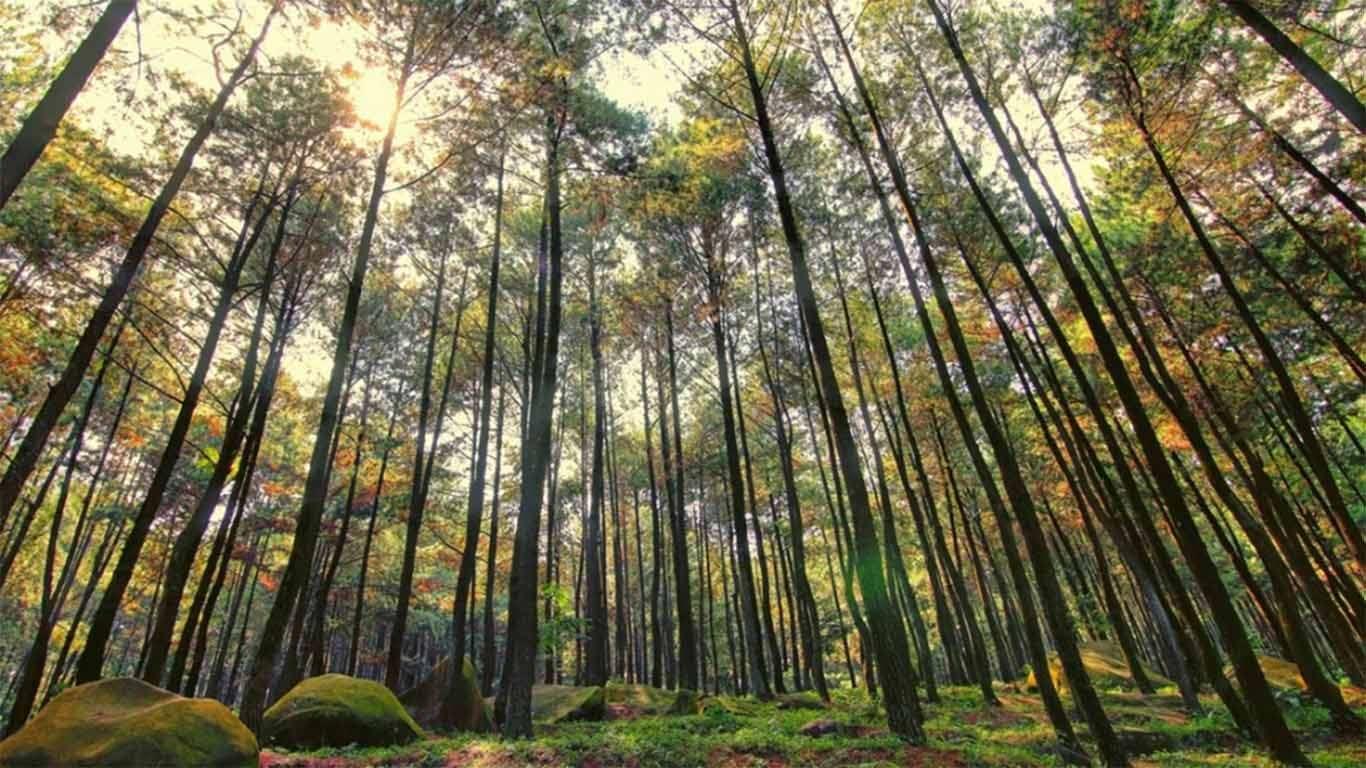 Pemandangan + Harga TIket Masuk Hutan Pinus Mangunan