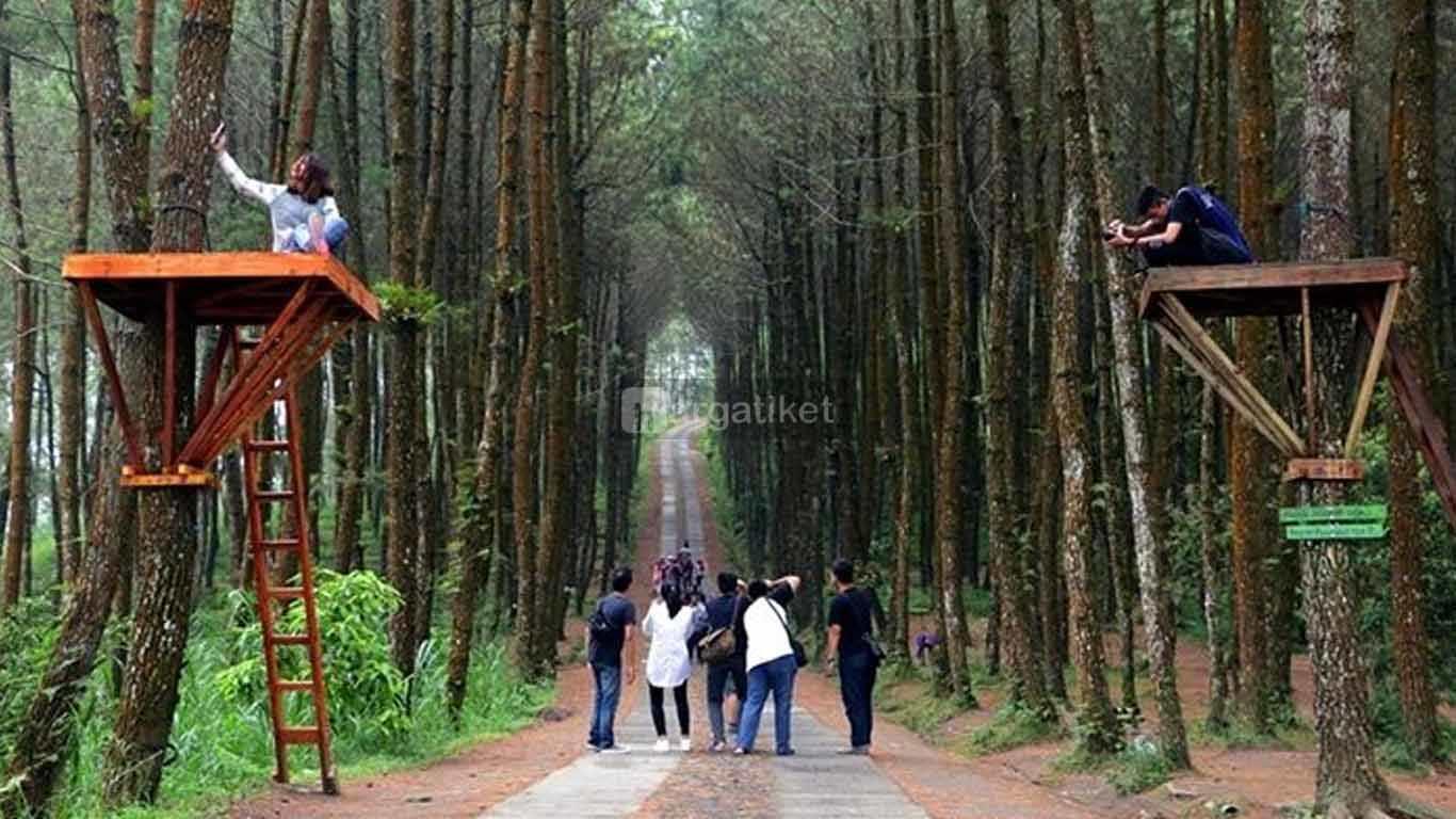 Hutan Pinus Wisata Mangli