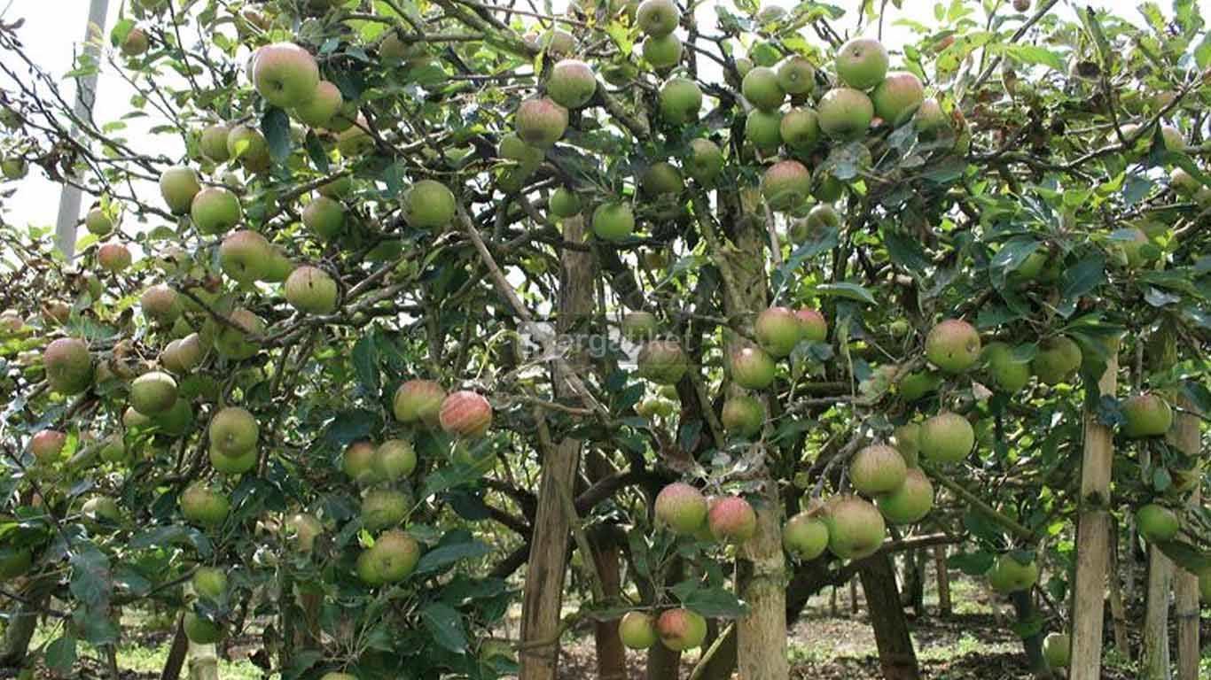 kebun apel khrisna pasuruan