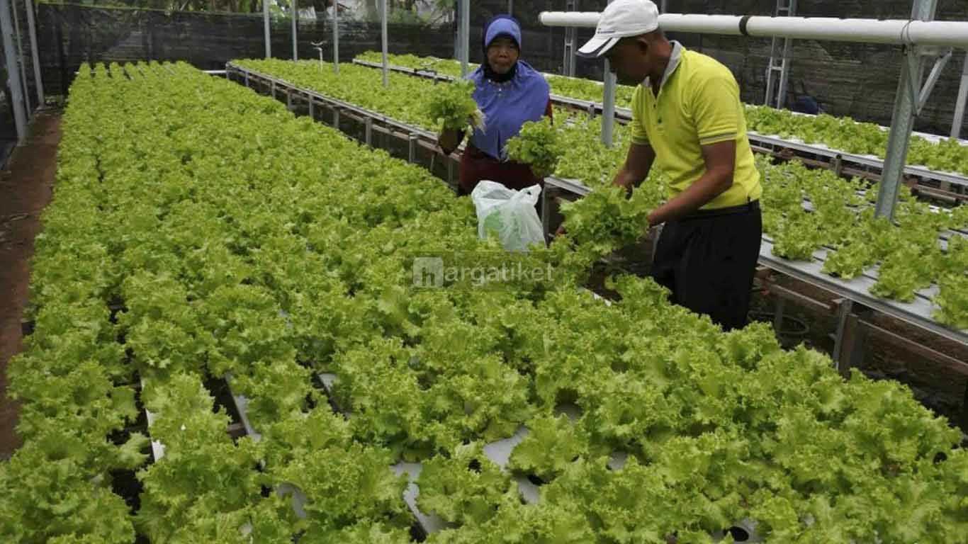 Mama Farm Hidroponik