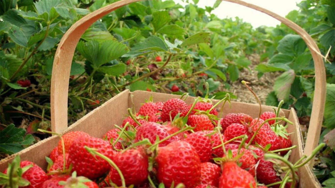 Harga Tiket Masuk Kebun Strawberry Ciwidey