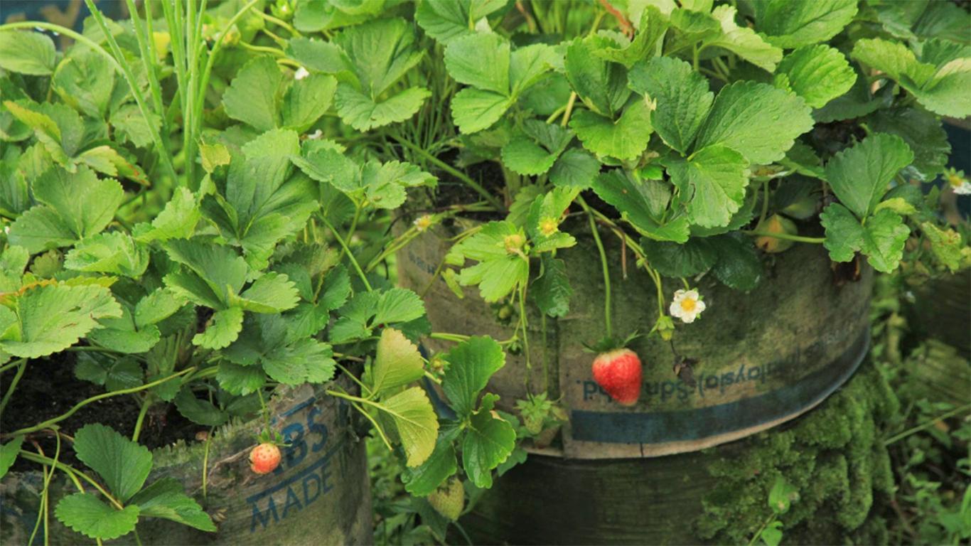 cara memilih strawberry yang bagus