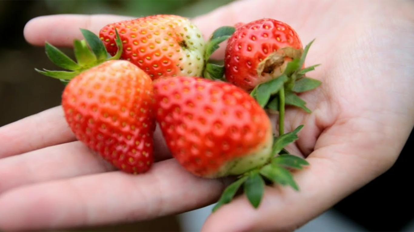 petik buah strawberry