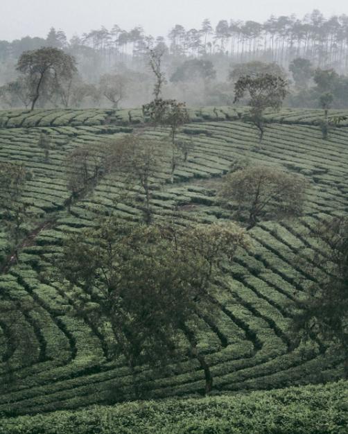 kebun teh wonosari lawang