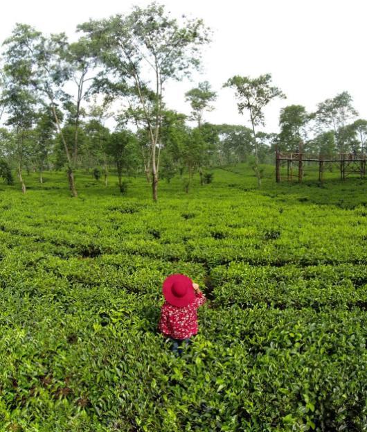 wonosari kebun teh